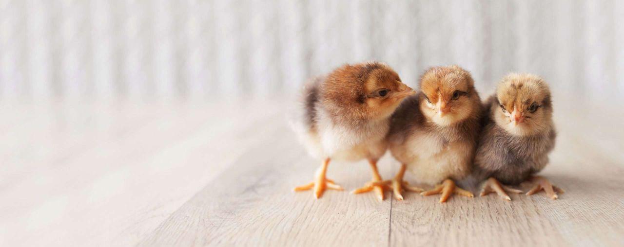 HUMAC® Natur AFM és csirkék