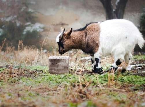 huminsavak kecskéknek