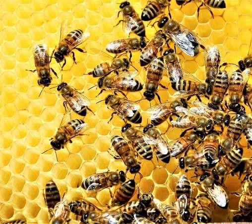 huminsavak méheknek